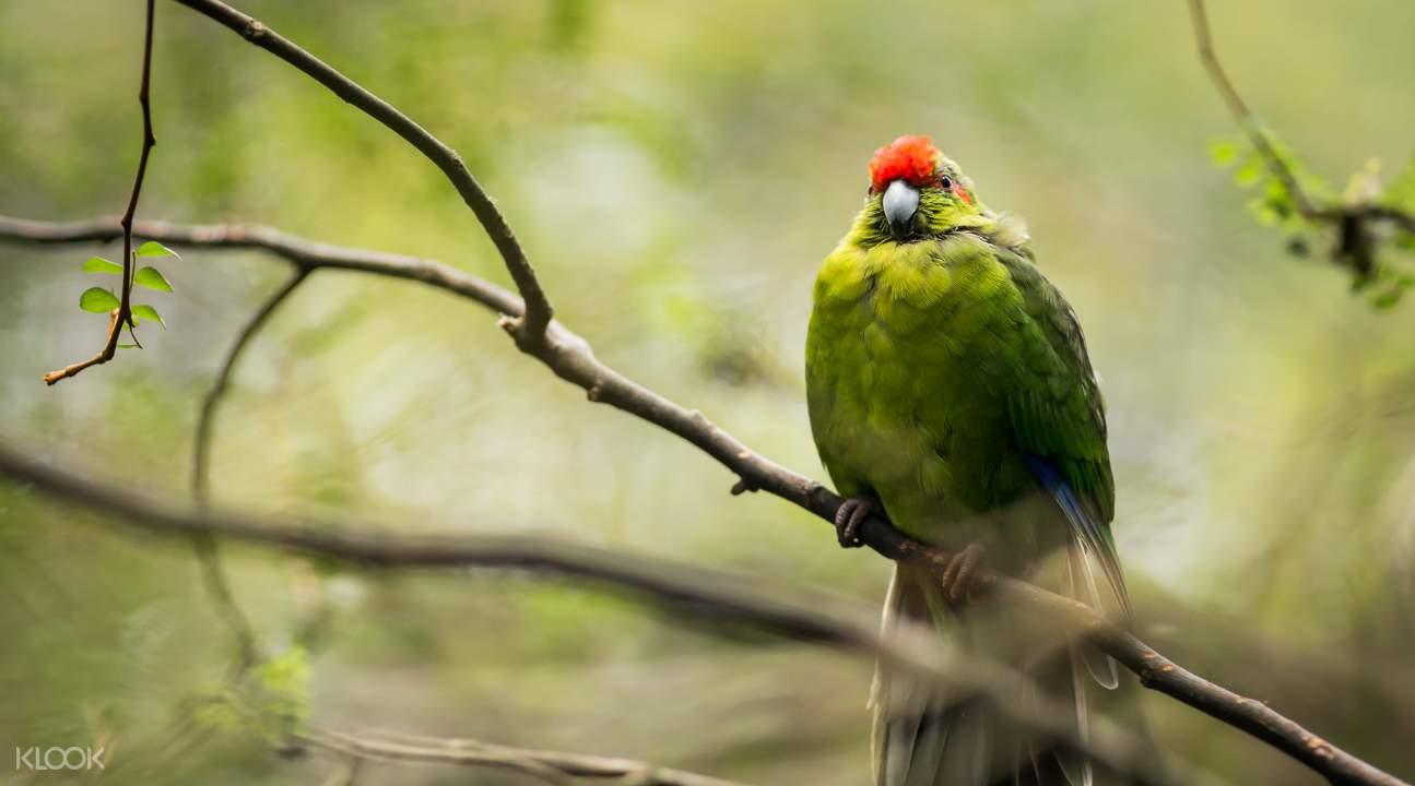 新西蘭紅冠長尾小鸚鵡