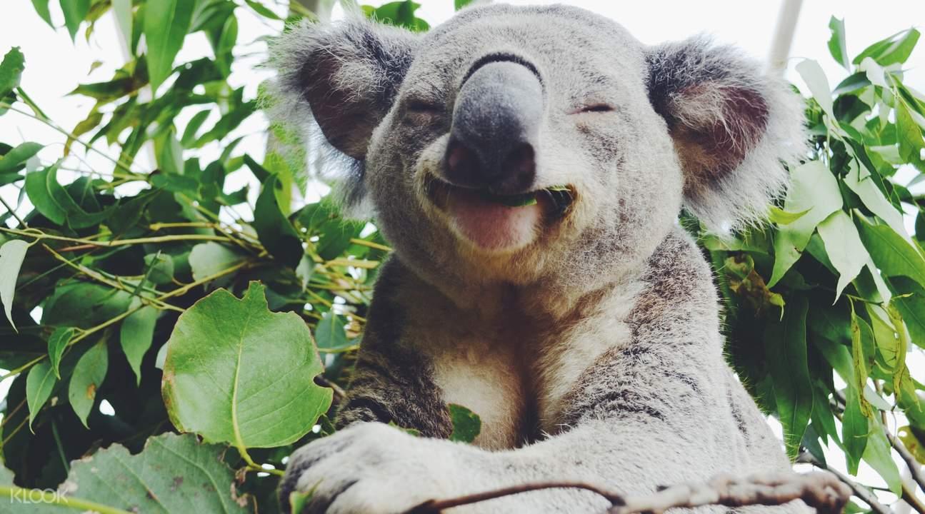 悉尼动物园考拉