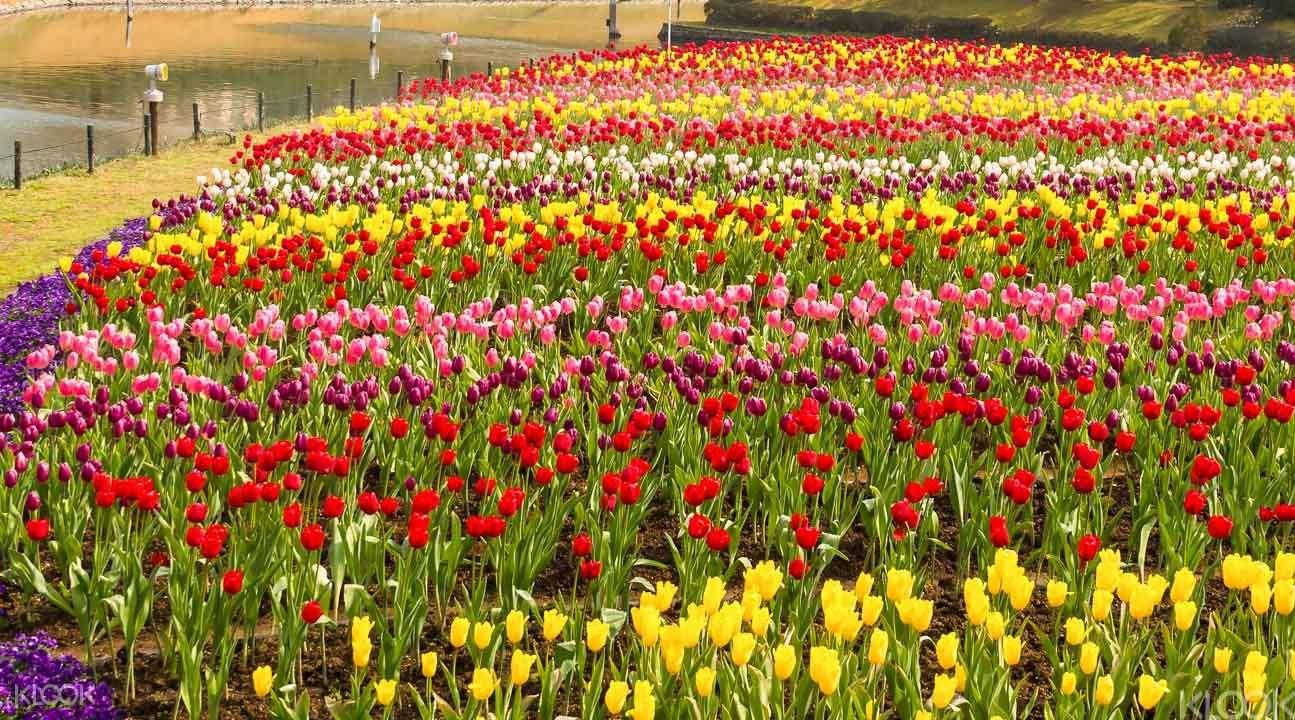 Tulip garden japan
