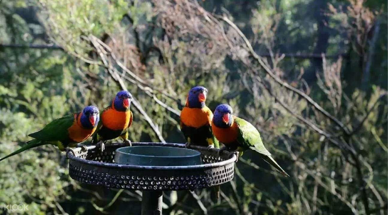 墨爾本動物園鸚鵡