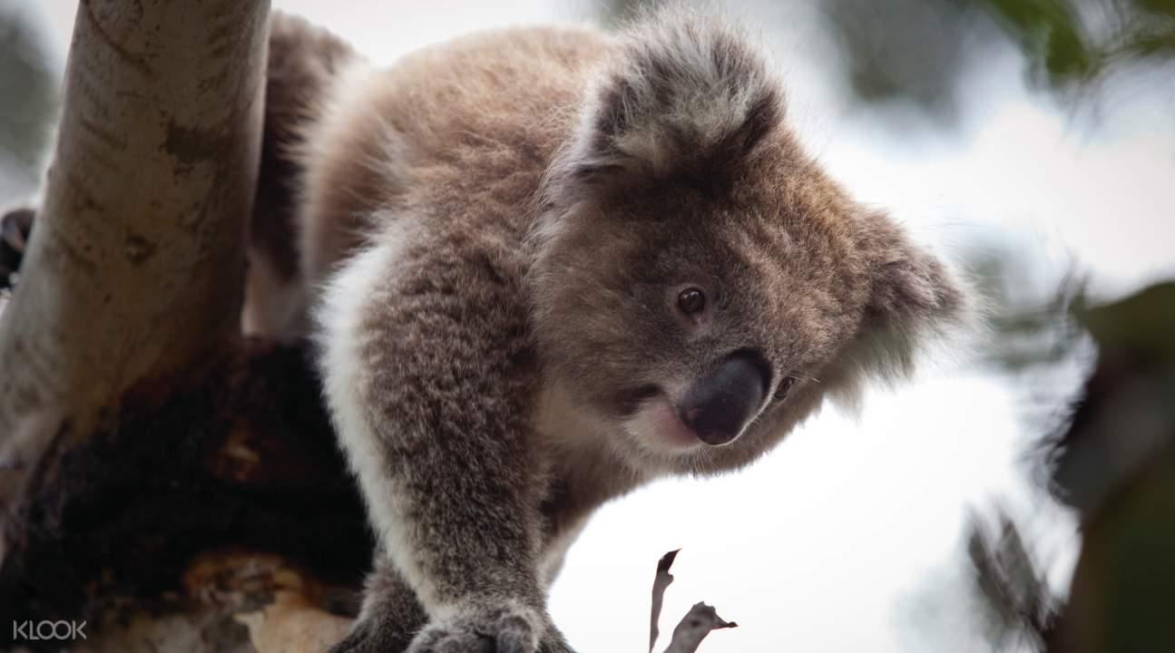 Phillip Island Koala