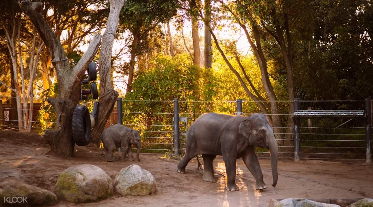 墨爾本動物園大象