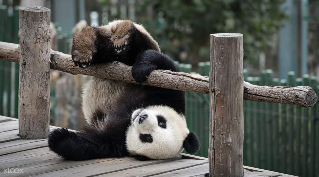 Chengdu Giant Panda