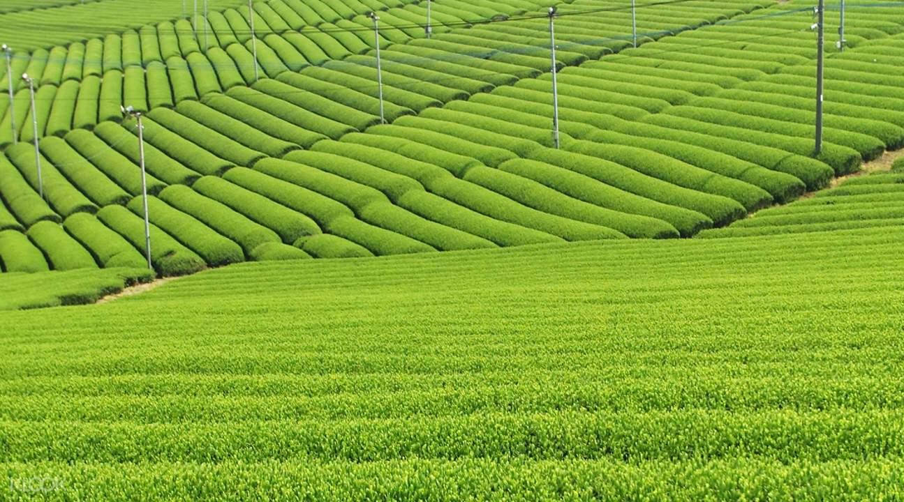 Tea plantation viewing Yanagawa
