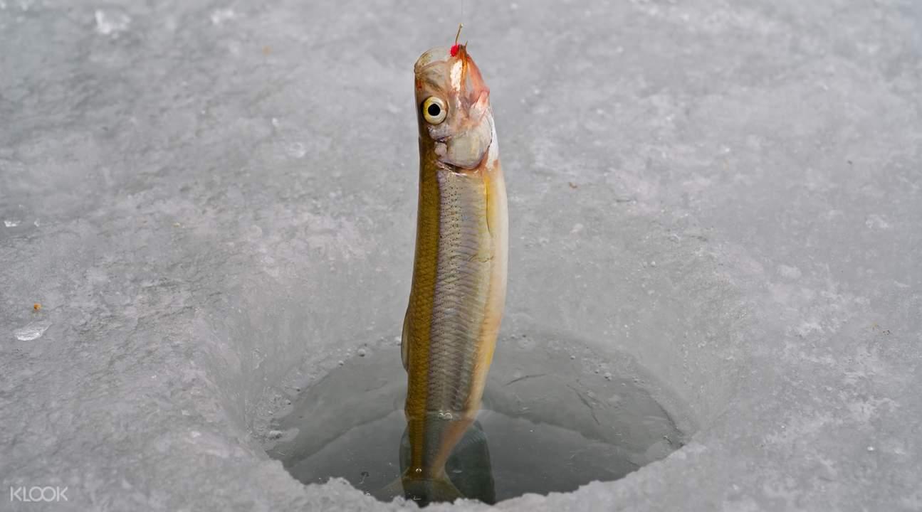 北海道 西太公鱼