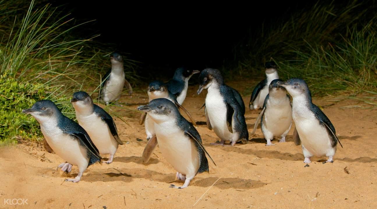 菲利普岛企鹅归巢