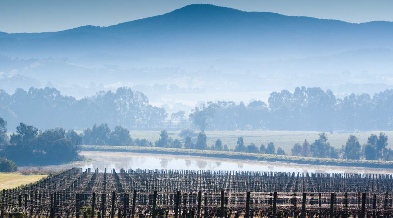 Vineyard at Yarra Valley