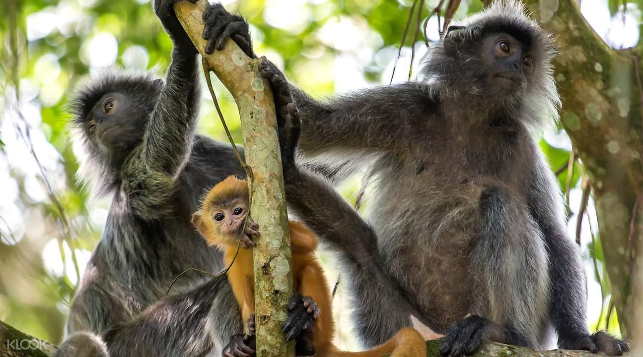 沙巴西海岸長鼻猴探索之旅