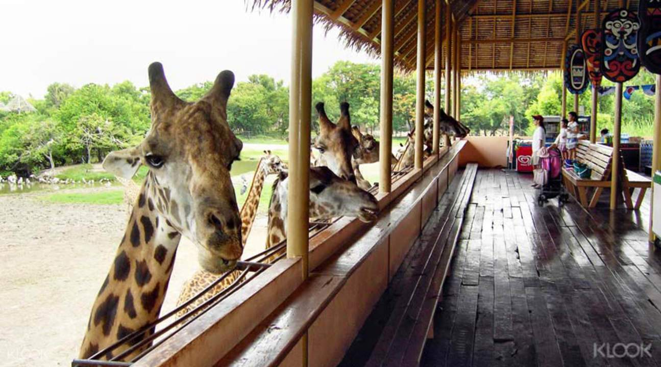 曼谷野生动物园长颈鹿