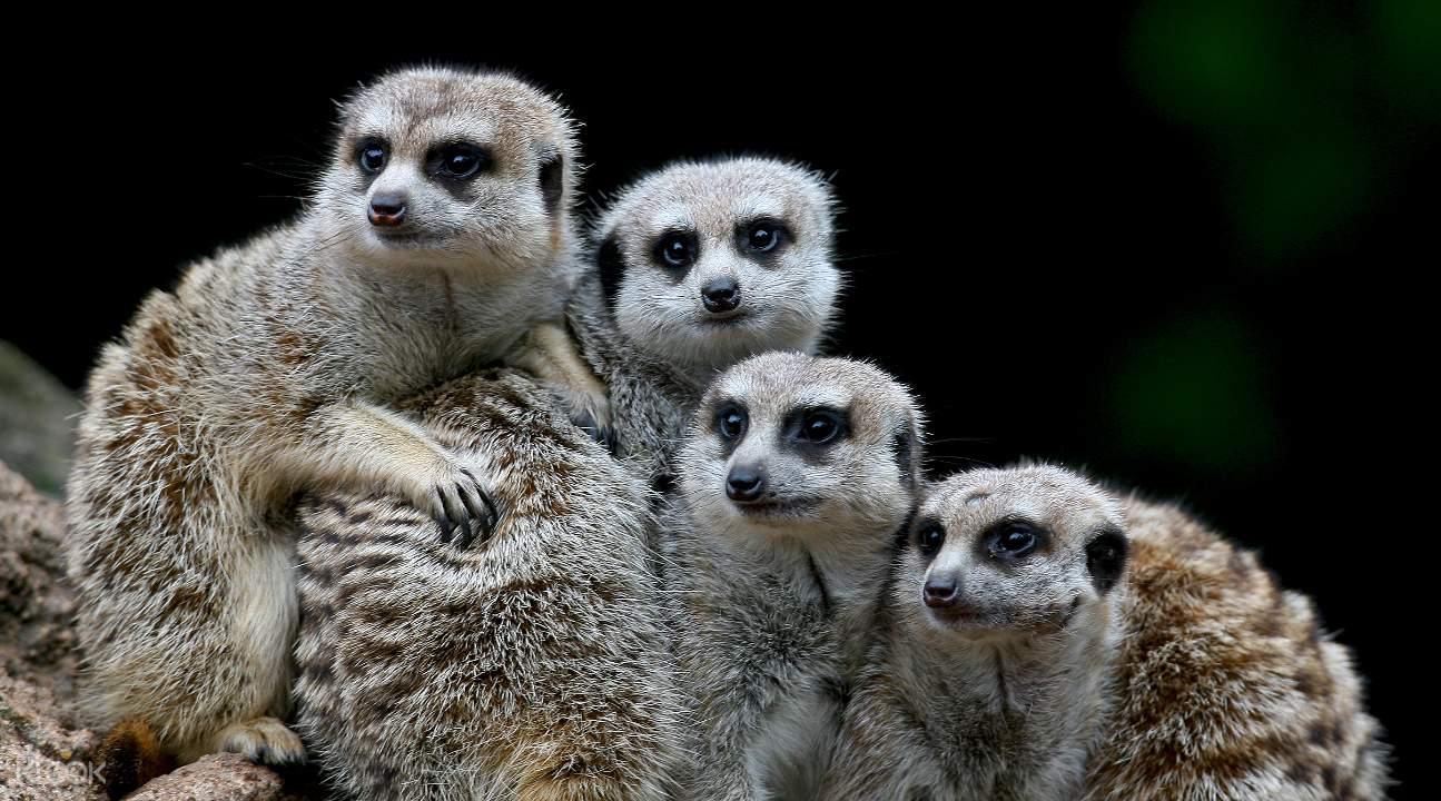 墨尔本动物园猫鼬