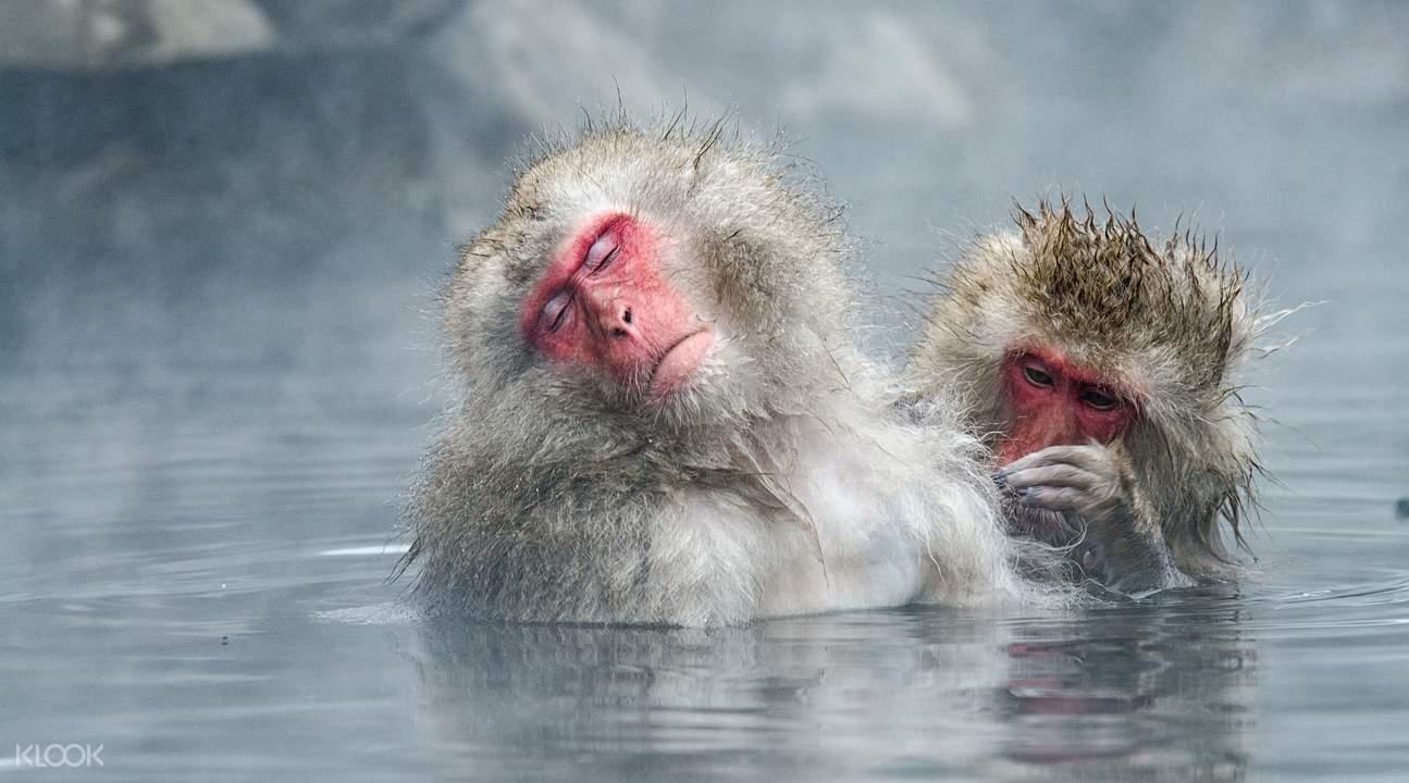 snow monkey japanese hot springs