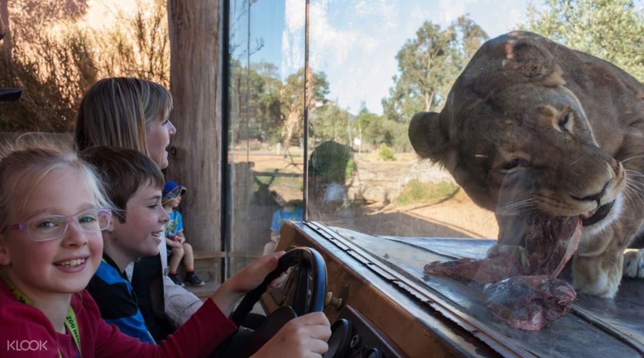 华勒比野生动物园狮子