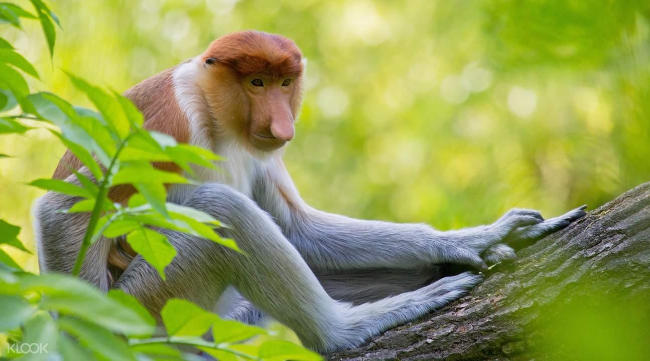 Garama Proboscis Monkey & Fireflies Tour