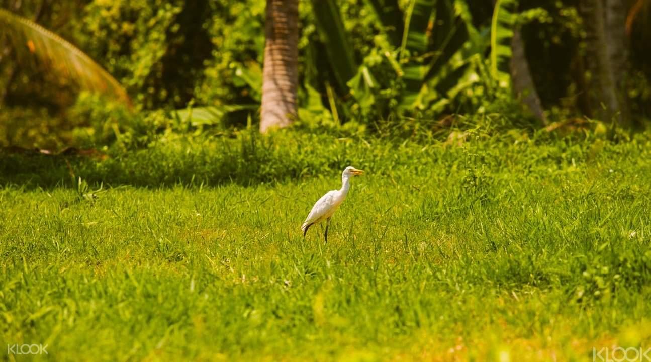 Petulu村的候鳥蒼鷺