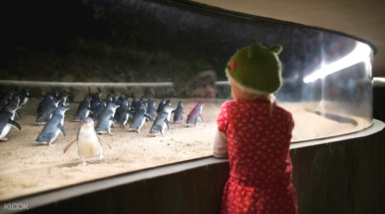 菲利普島企鵝歸巢