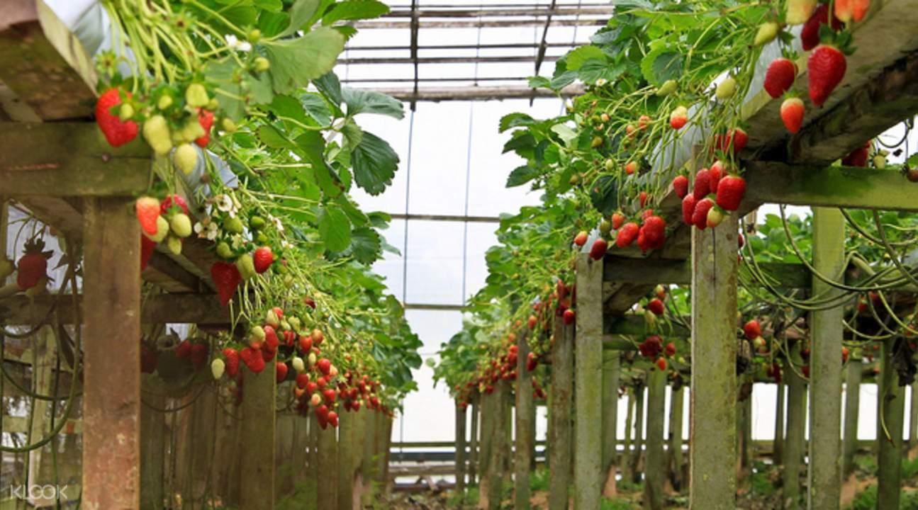 馬來西亞草莓農場