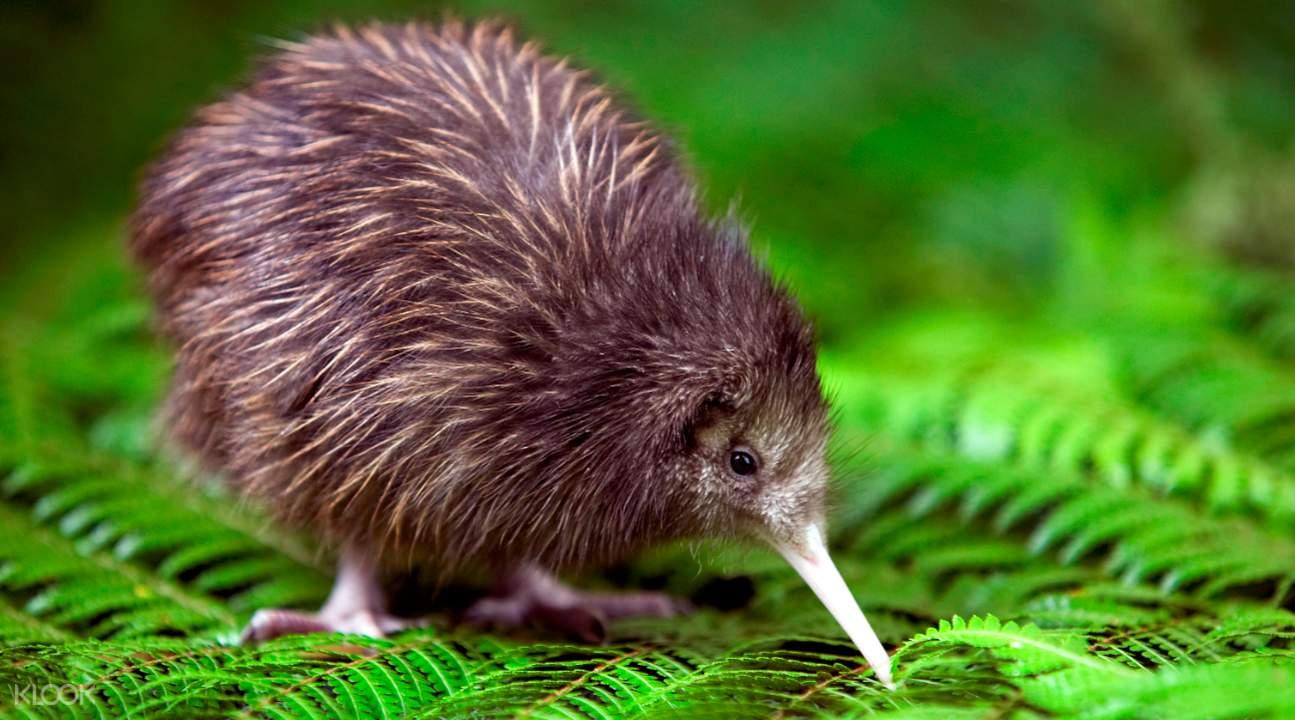 新西兰奇异鸟