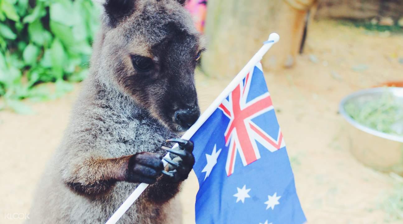 悉尼动物园袋鼠
