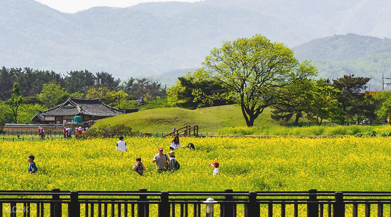 庆州油菜花田两日游
