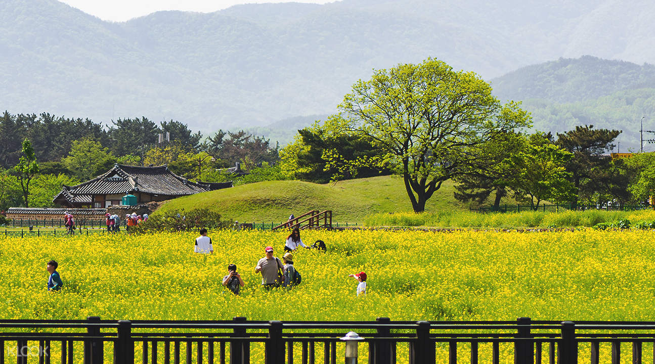 慶州油菜花田兩日游