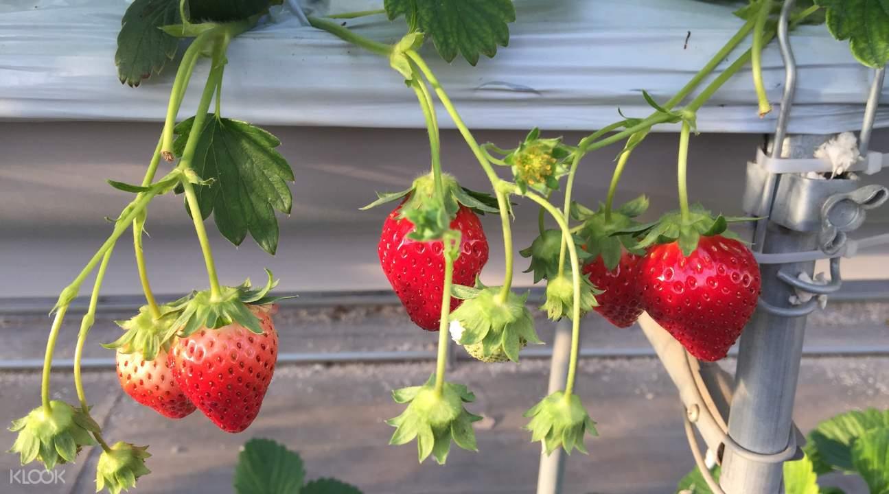 河津櫻花祭+採草莓一日遊