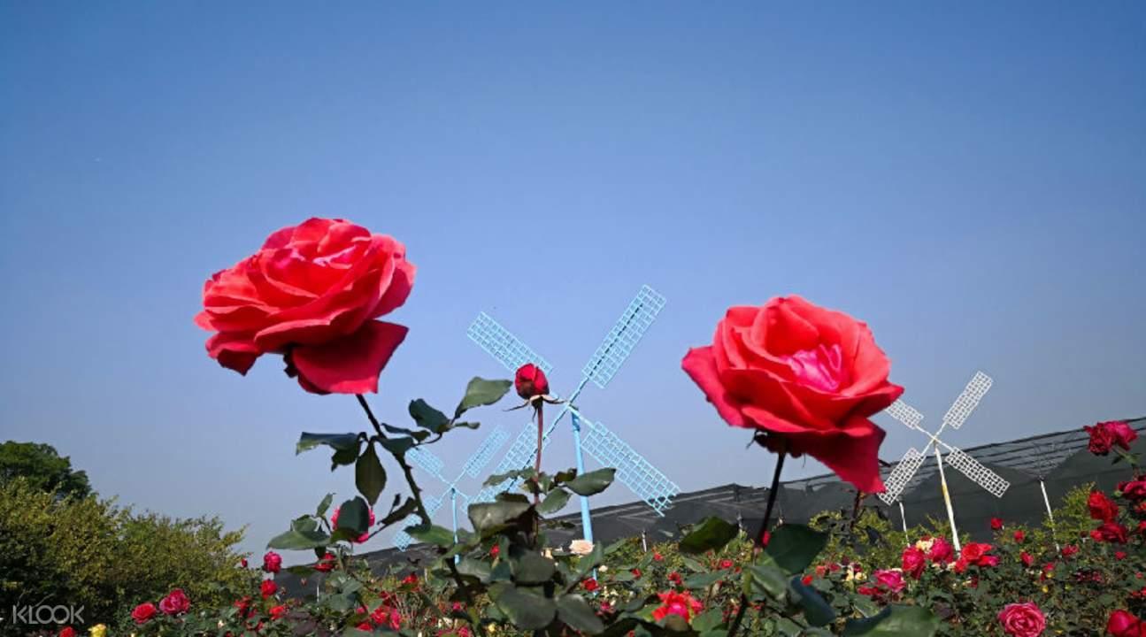 conghua baoqu rose garden in guangzhou