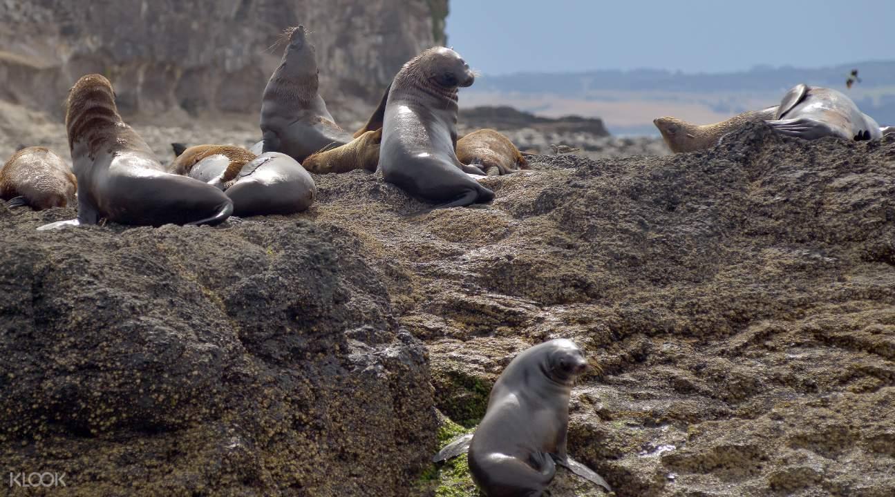 菲利普島海豹岩