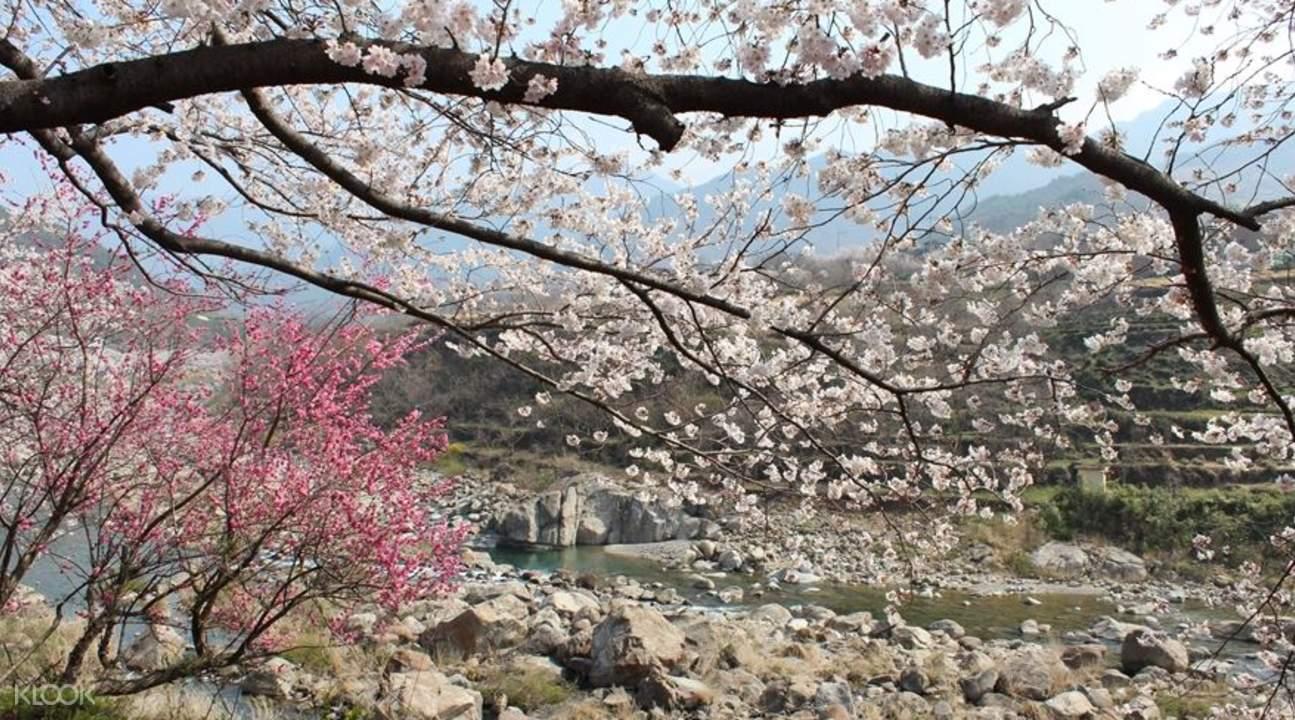 jeonju cherry blossom tour