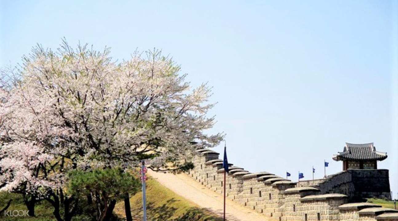 cherry blossoms at suwon hwaseong