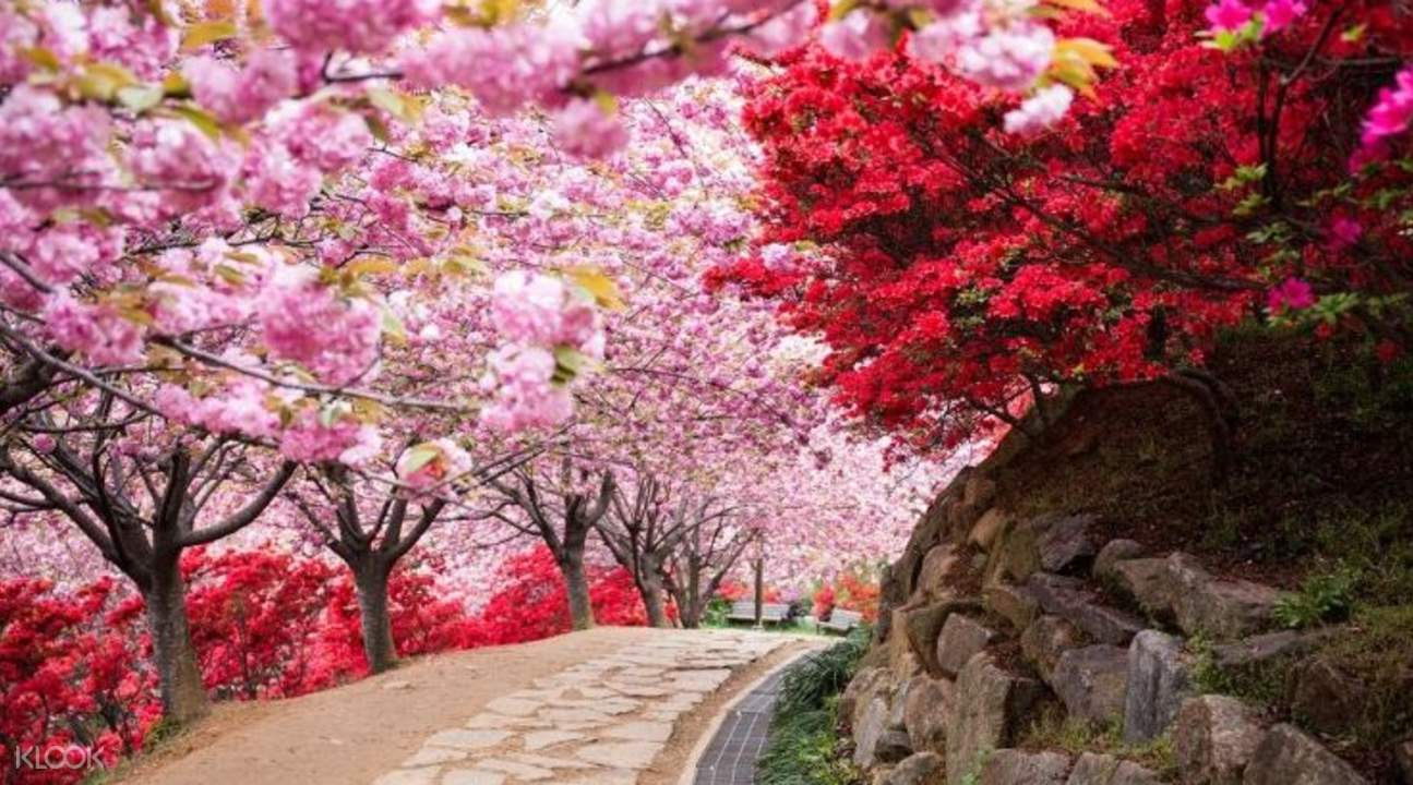 jinju cherry blossom tour