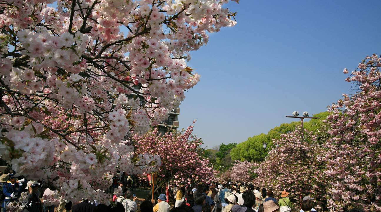 sakura season viewing tour kyoto, cherry blossom season tour kyoto