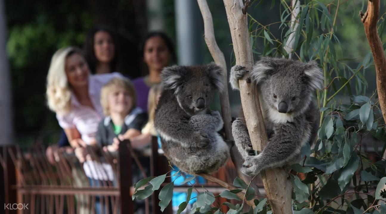 墨尔本动物园考拉