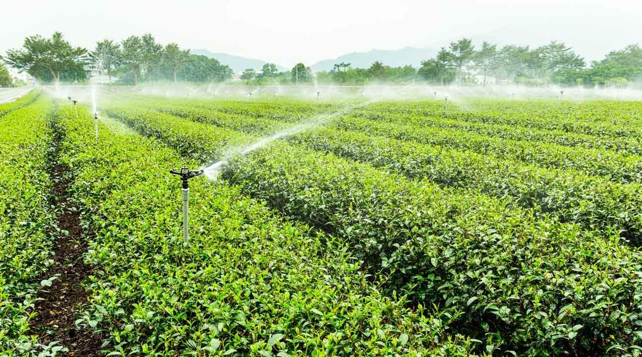 Taitung tea gardens
