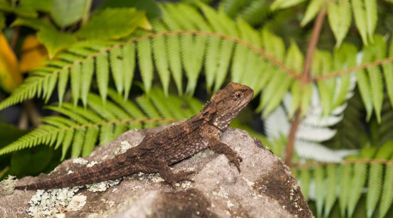 新西兰蓝舌蜥蜴