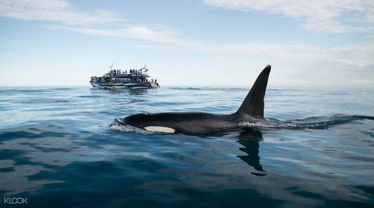orca spotting in new zealand