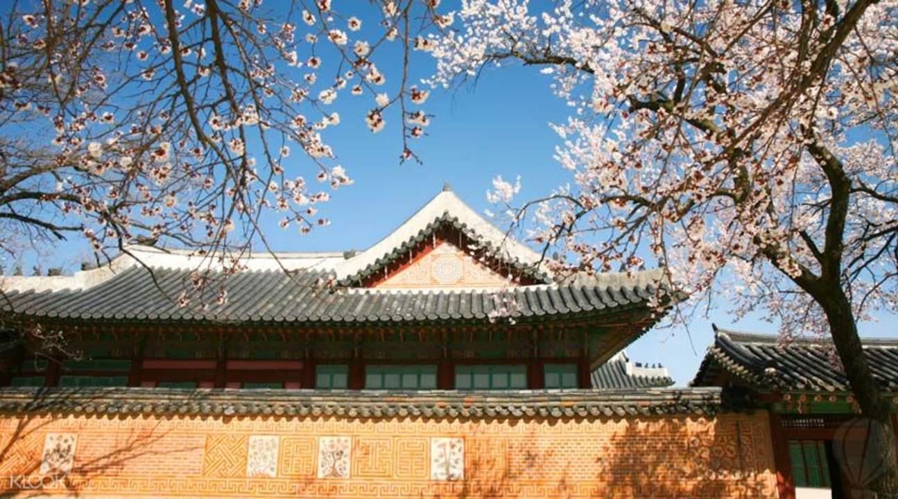 korea cherry blossom tour