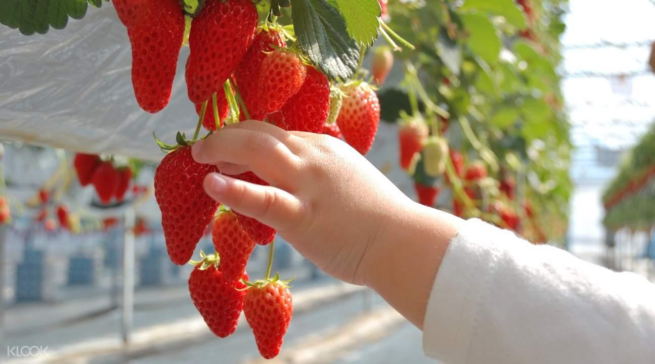 雪國農業公園湯澤草莓村