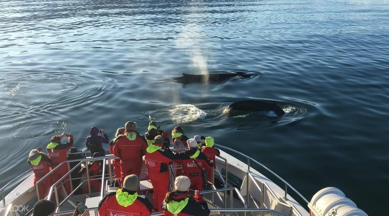 whale watching cruise akureyri iceland
