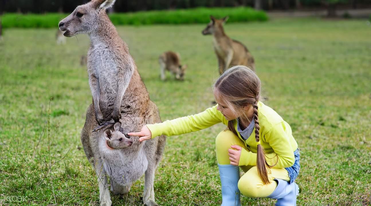澳洲动物园袋鼠