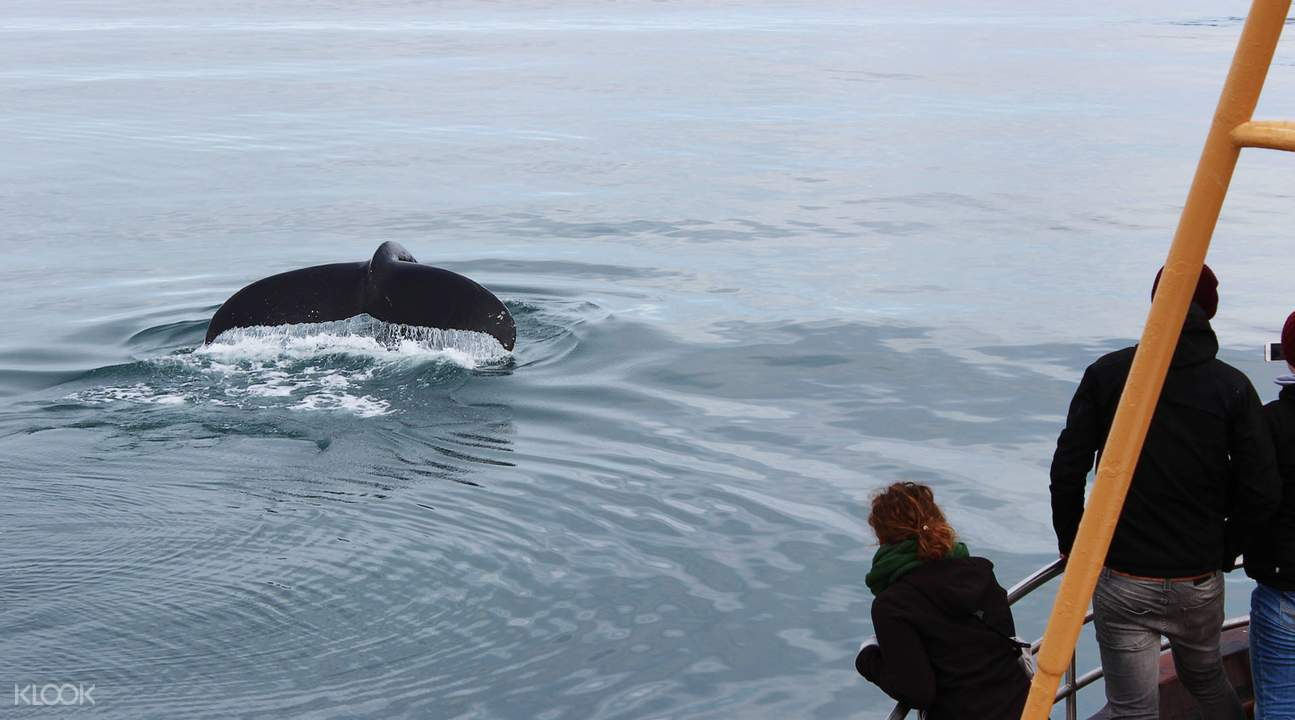 best whale watching iceland