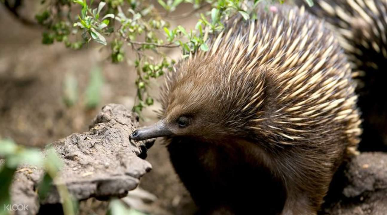 希尔斯维尔野生动物保护区针鼹鼠