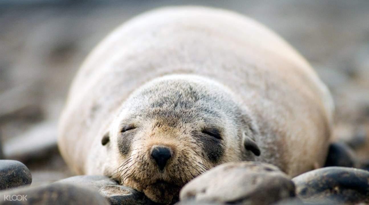 菲利普島海豹