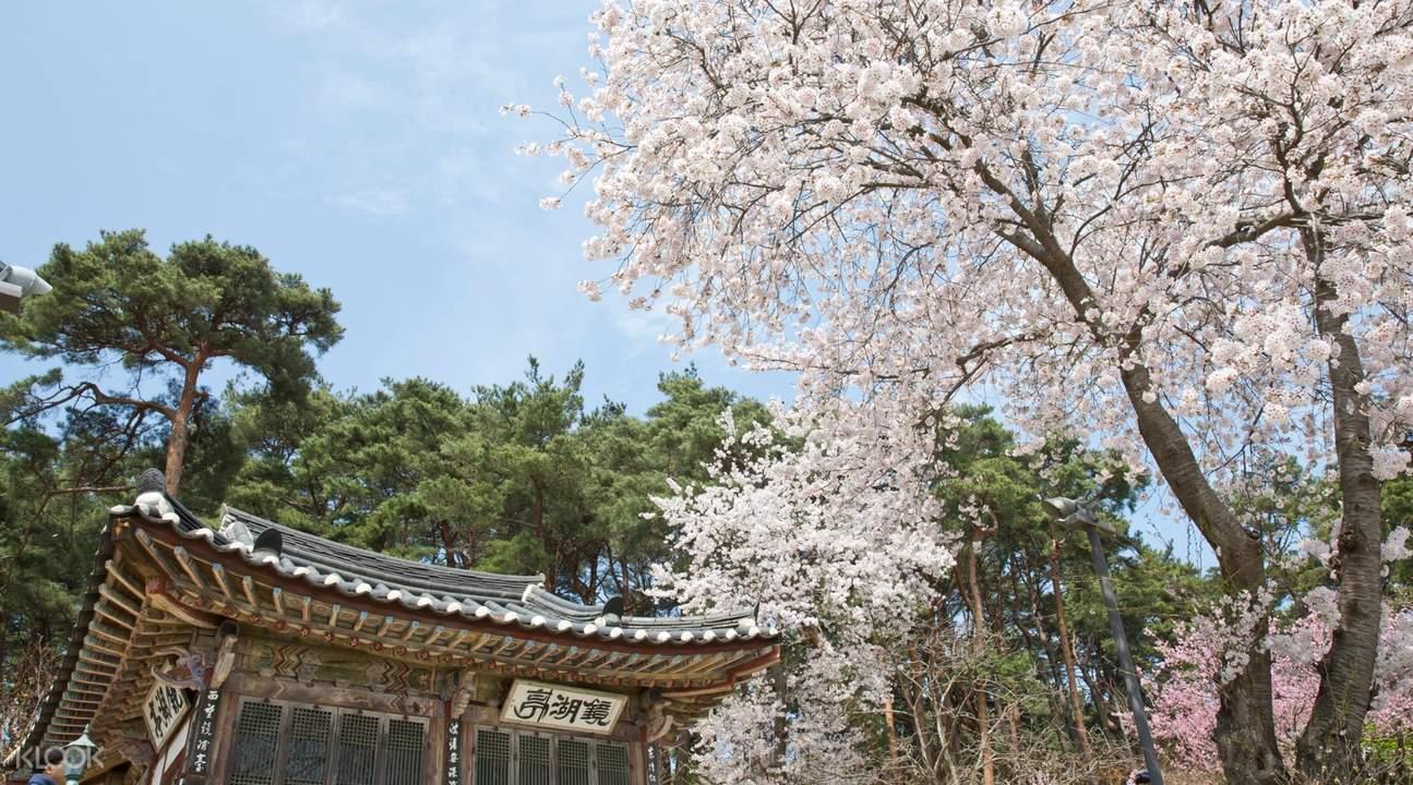gangwon-do cherry blossoms