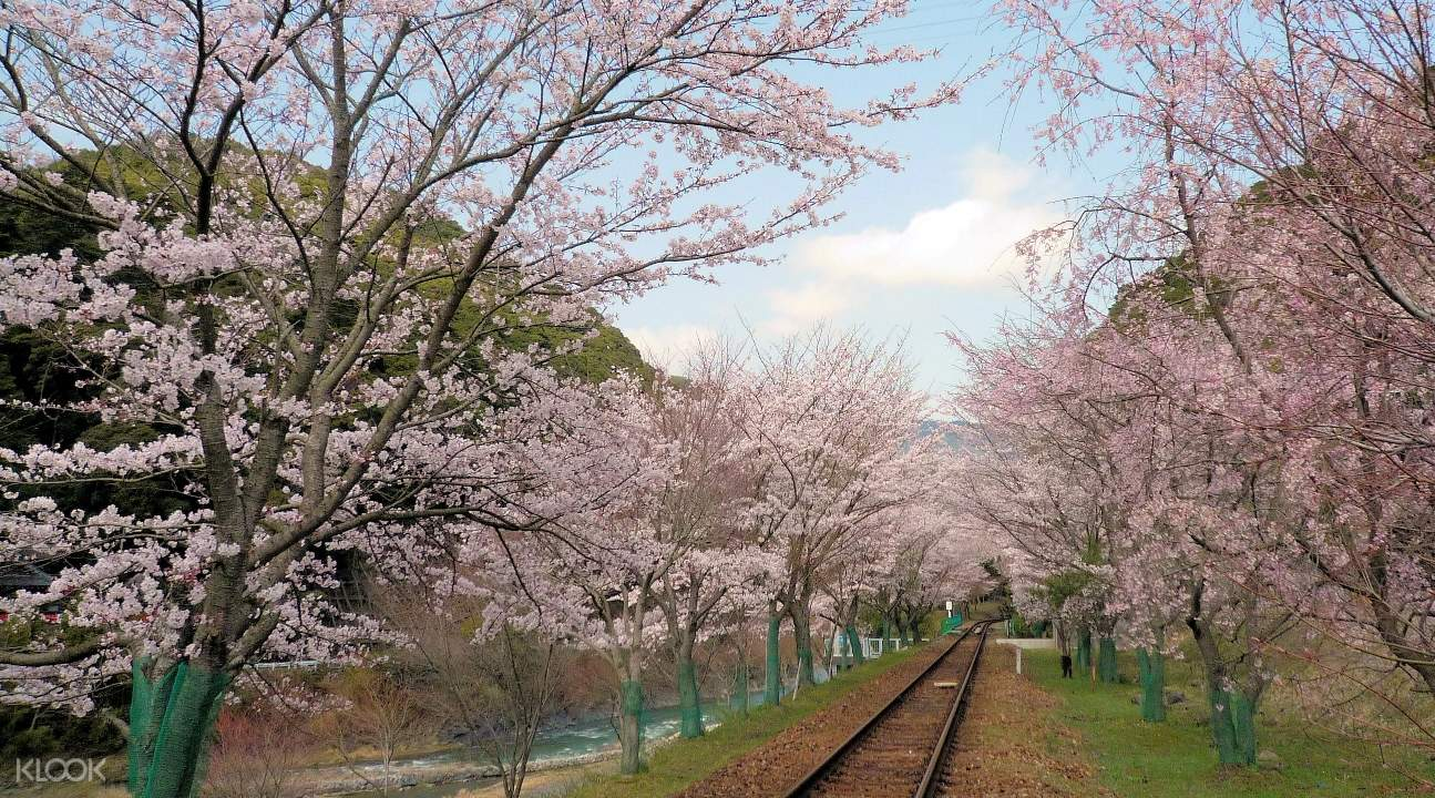 a view of the Sagano Romantic Train tracks and trees with sakura blossoms
