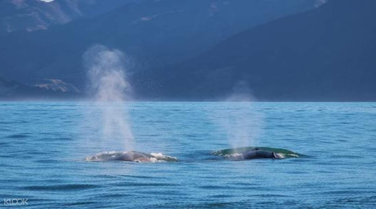 凱庫拉賞鯨