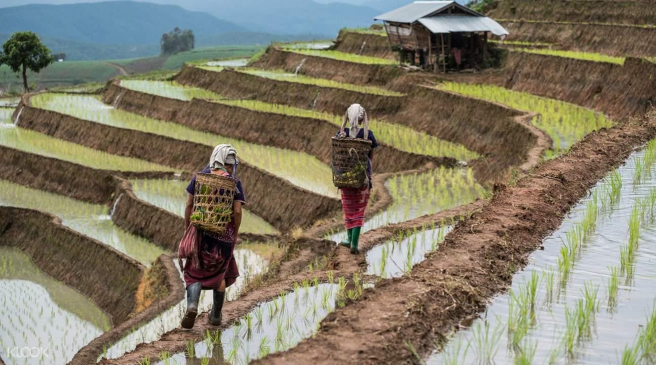 karen long neck village rice fields