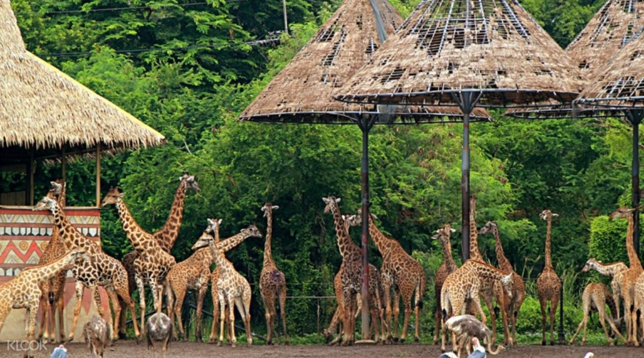 曼谷賽福瑞野生動物園(Safari World)長頸鹿