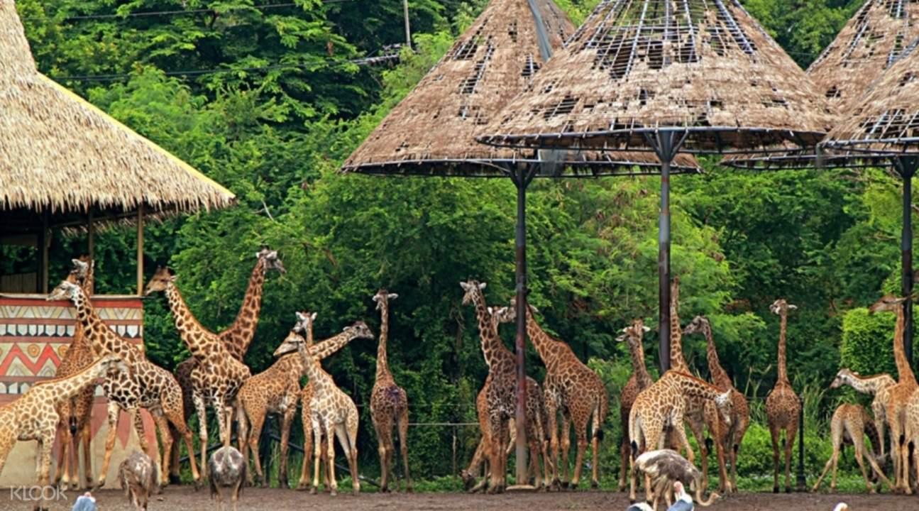 曼谷賽福瑞野生動物園(Safari World)長頸鹿