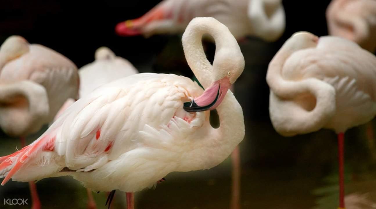 爱化摩沙野生动物园红鹳