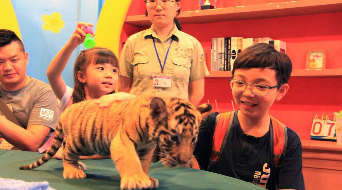 baby tiger petting at chimelong safari park